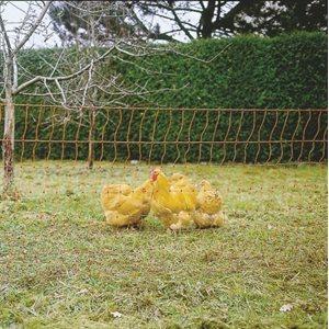 Electrified Netting, Poultry, Orange, 50 m